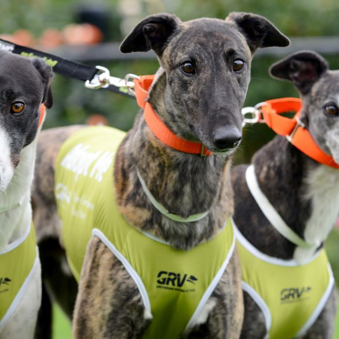 Explained Why Nsw Is Banning Greyhound Racing Animal Rights Groups Animals Racing
