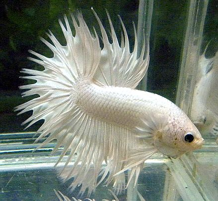 White Crowntail Betta | www.pixshark.com - Images ...