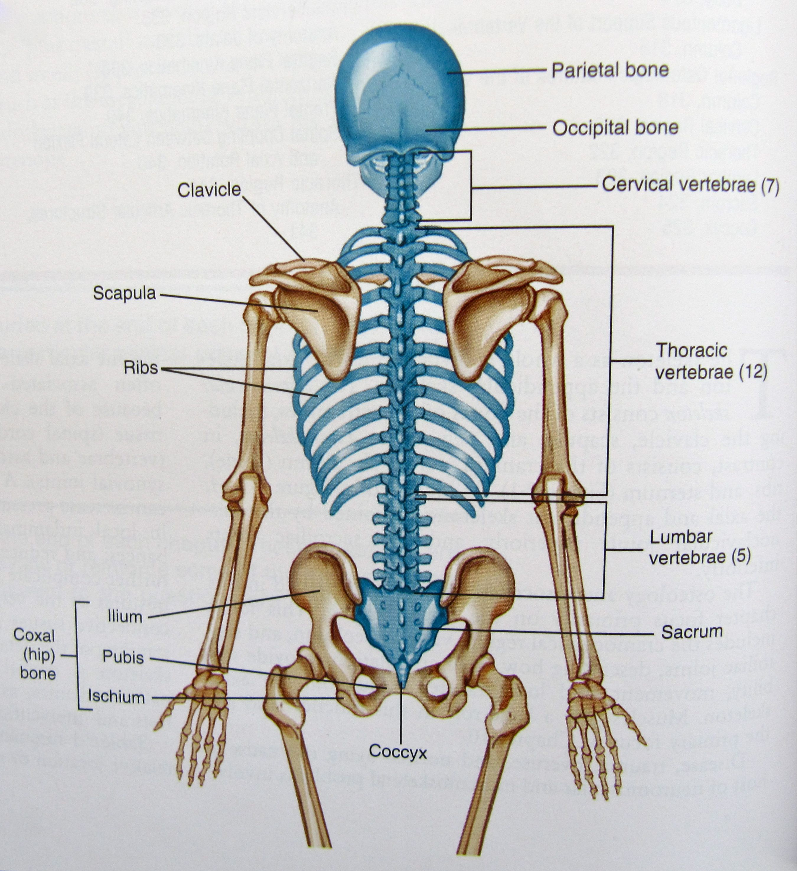 the axial skeleton is the portion of the human skeleton that consists of the bones of [ 2699 x 2947 Pixel ]