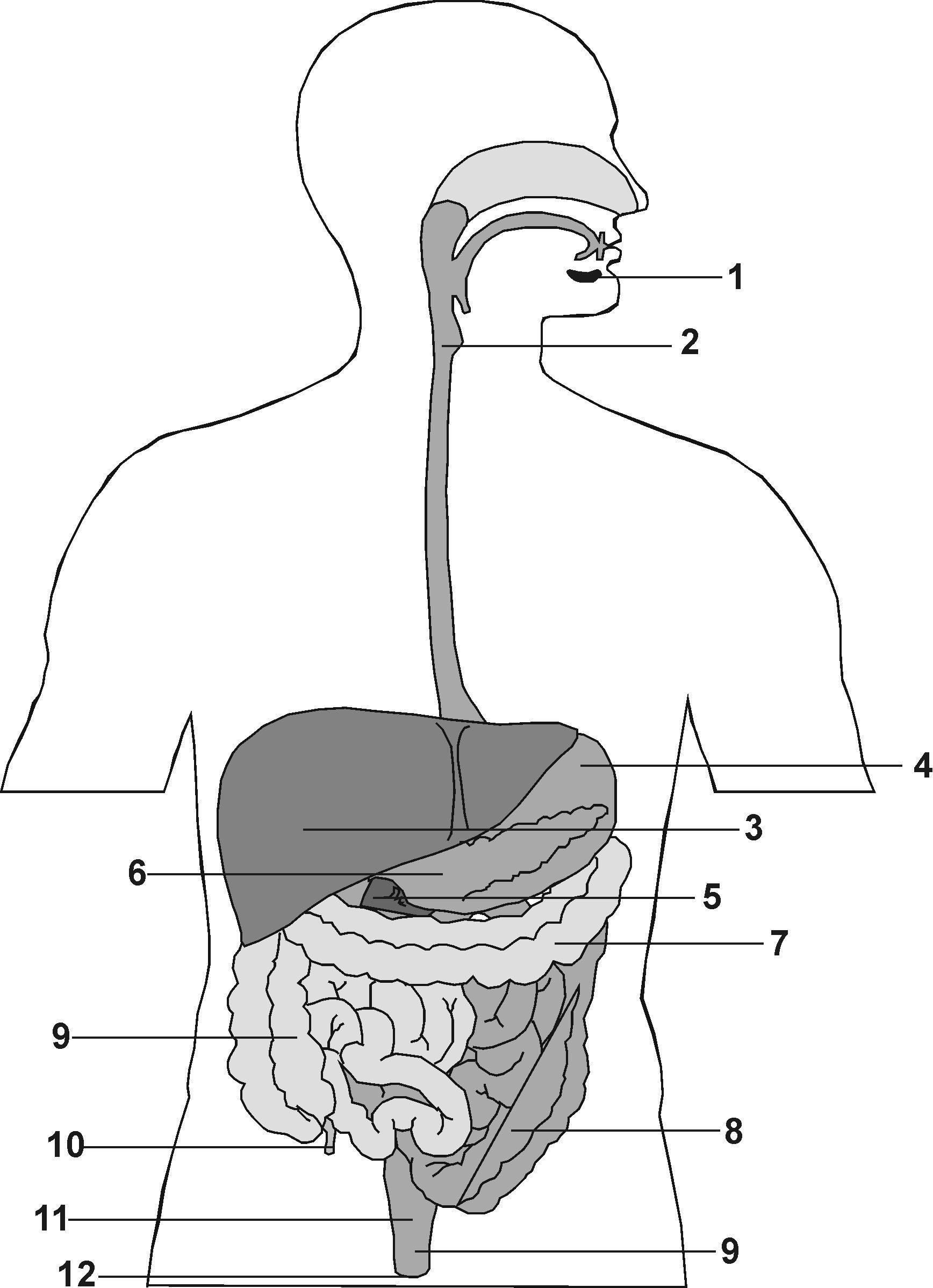 Unlabeled Digestive System Diagram Unlabeled Digestive