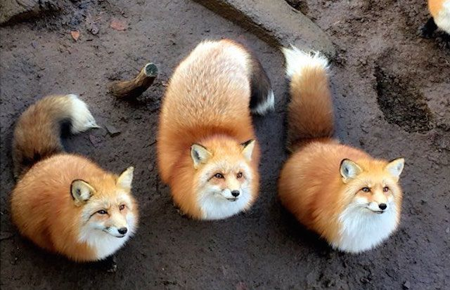 "Fluff-Heaven! A ""Fox Village"" In Miyagi Is A Dream-Come-True!! – grape"