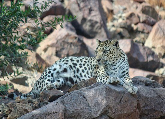 Arabian Leopard Arabians Trip Advisor Sharjah