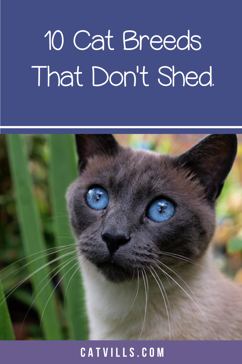 10 Cat Breeds That Don't Shed...Much in 2020 (With images