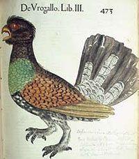 Urogallo by Conrad Gesner 1555