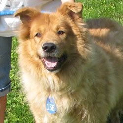 Spitz Dogs For Sale In Minnesota