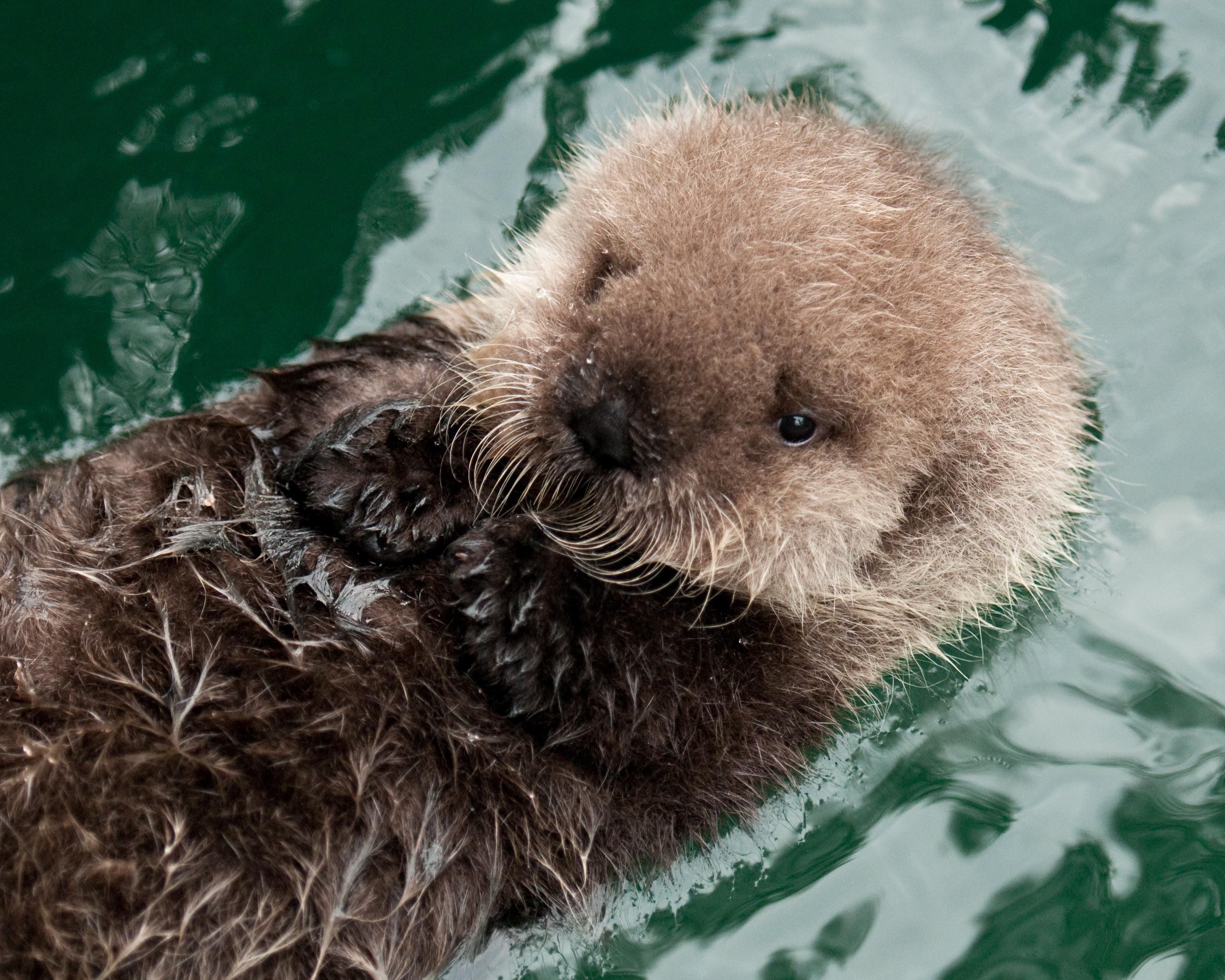 287 best sea otters images on pinterest sea otter otters and