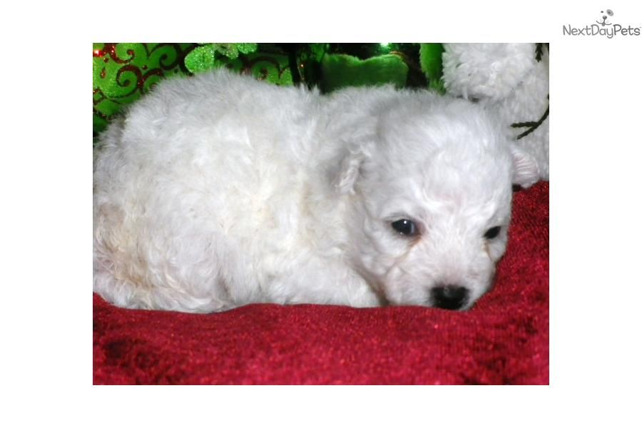 Meet Sugar a cute Bichon Frise puppy for sale for $800  AKC