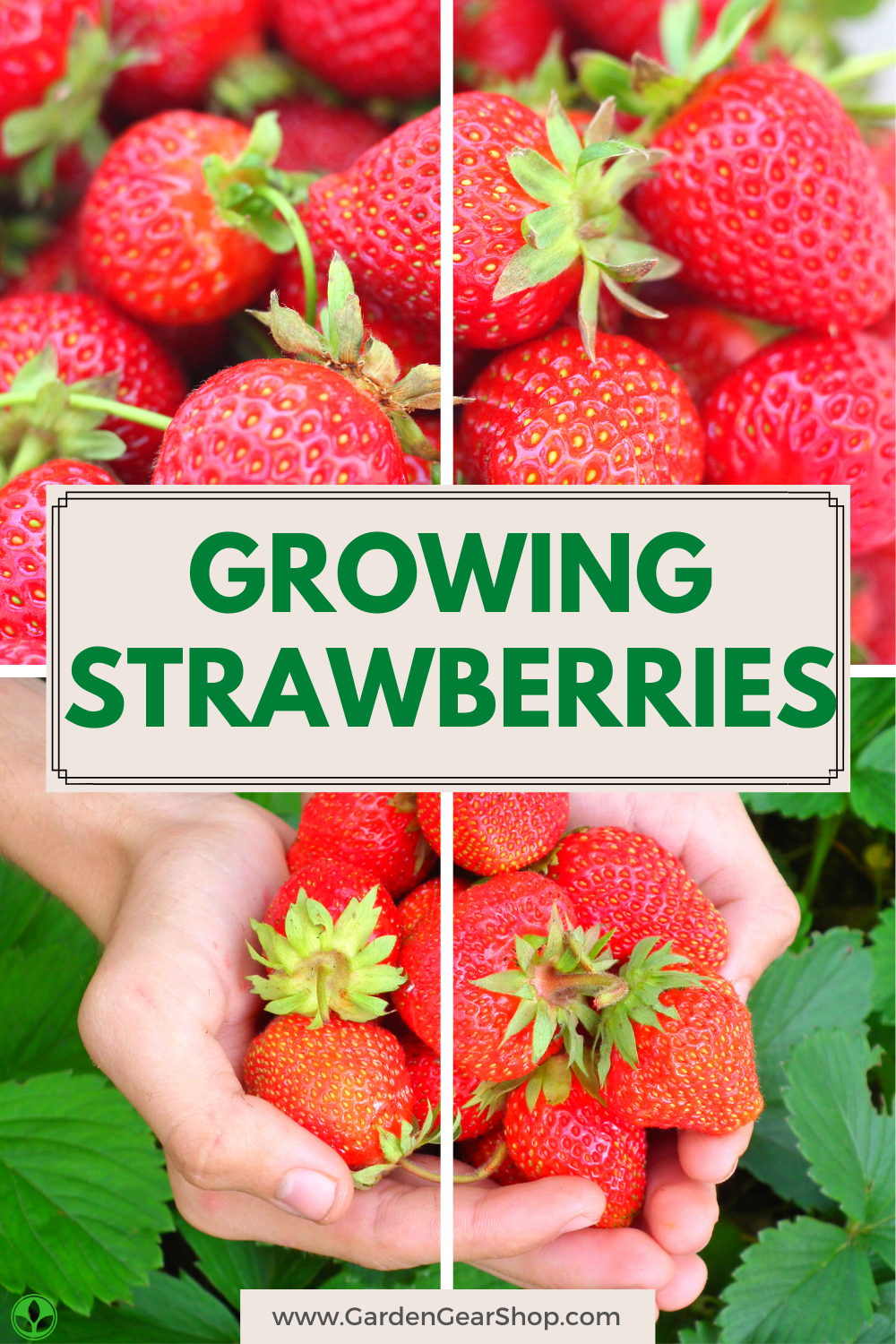 How To Grow Strawberries In 2020 Growing Strawberries Potted Strawberry Plants Strawberry Plant Care
