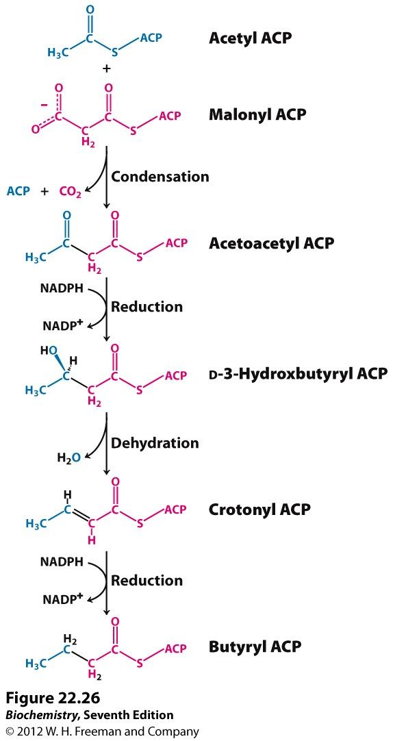 fatty acid synthesis - - Yahoo Search Results | NBDE