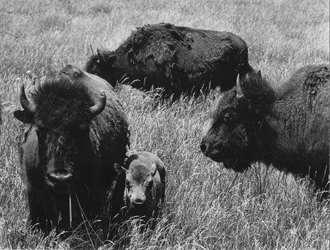 Plains Buffalo, Kansas, 1971.   Arthur Leipzig