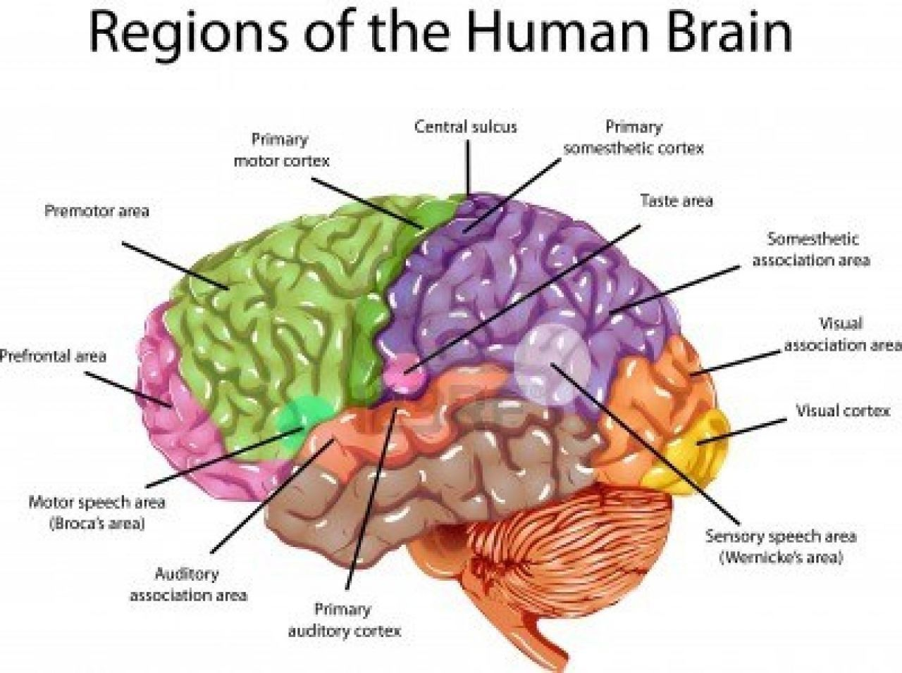 Brain Image With Labels Picture Of 3D Brain Model Label ...