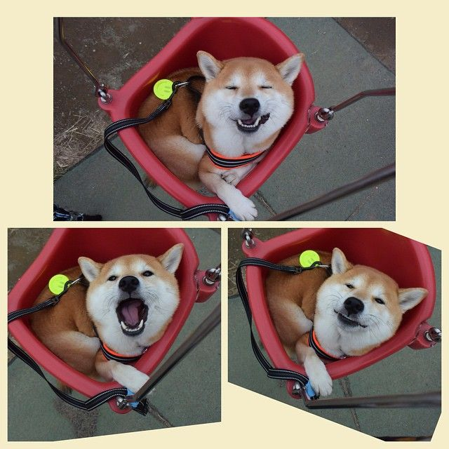 more adorably funny faces from Uni #shiba