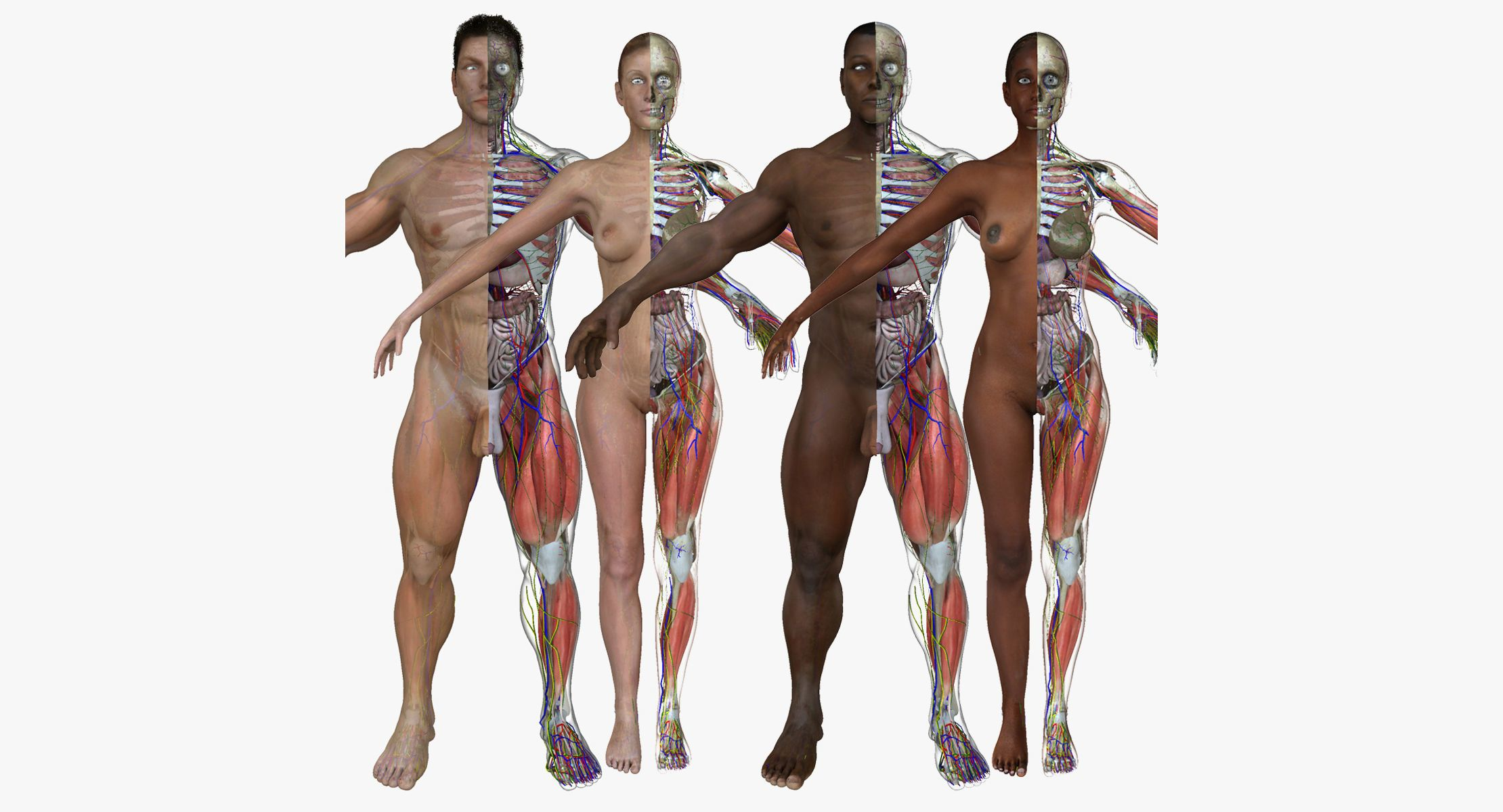 ultimate full body anatomy collection 3d model rigged obj