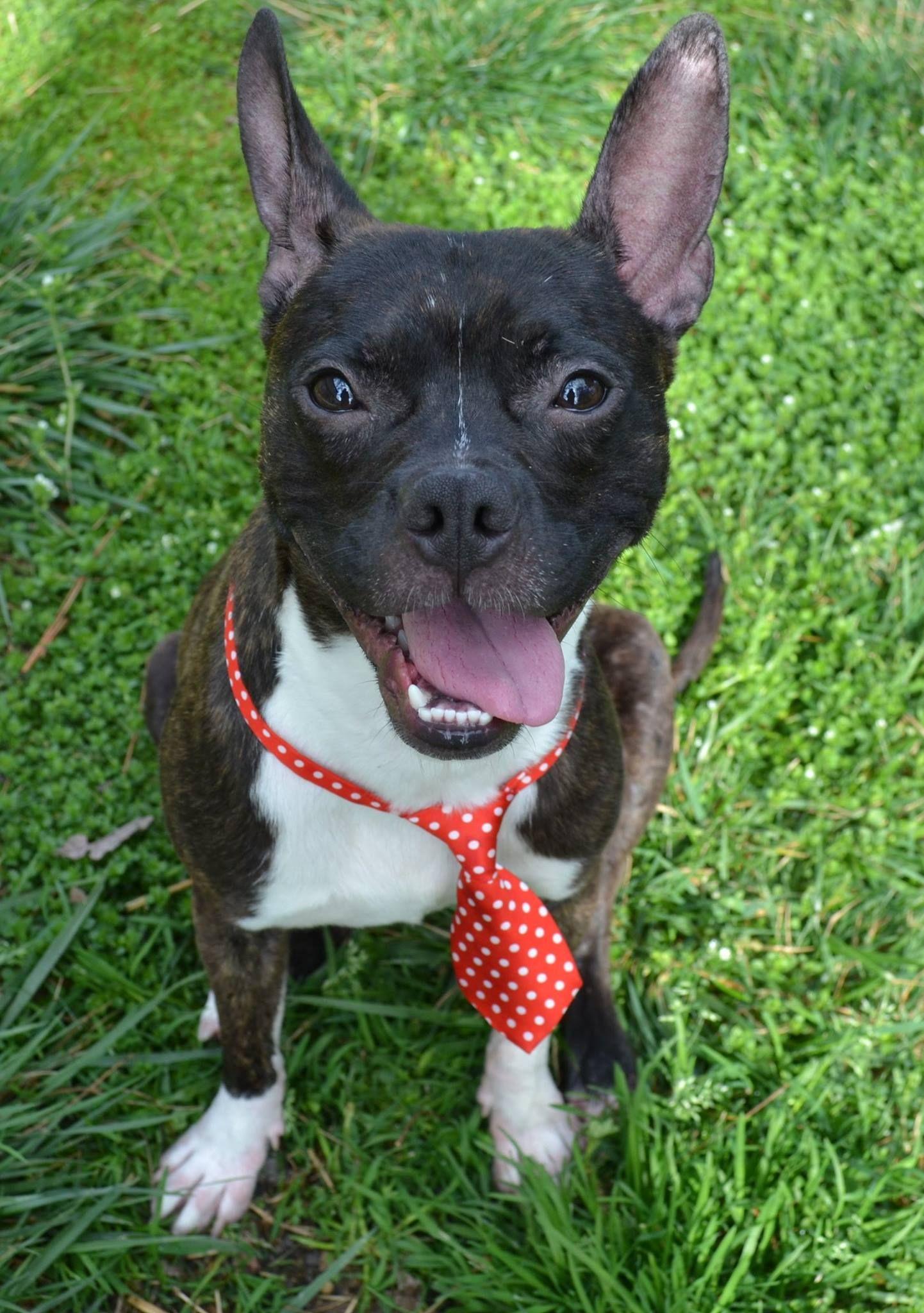 Boston Huahua dog for Adoption in High Point, NC. ADN