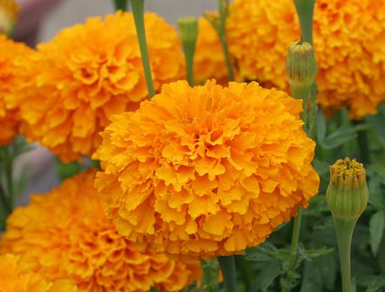 "Marigold 'Day of the Dead Orange' ""Cempazuchitl"" From Annie's Annuals  Another must have for my marigold loving boy."
