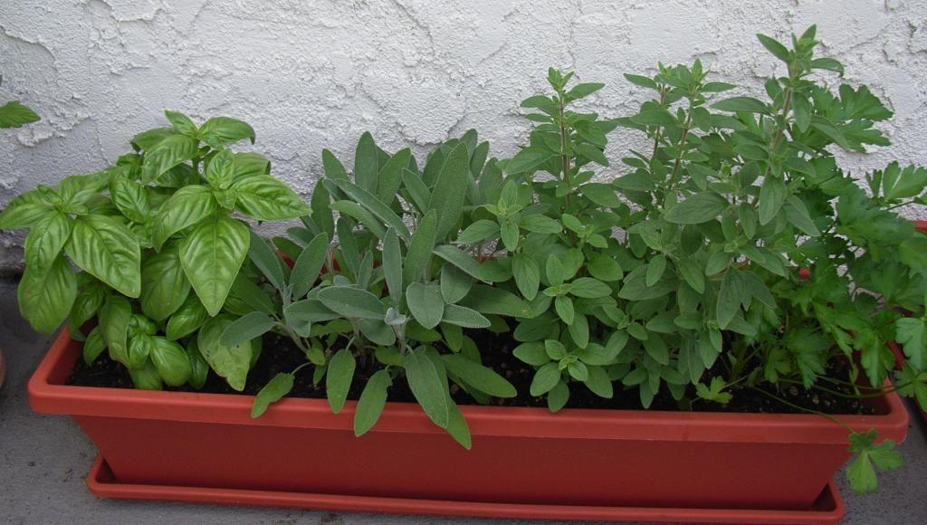 Common herbs herbs