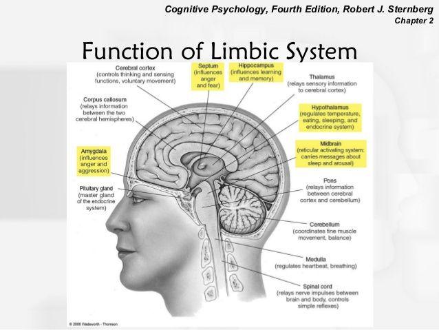 Function Of Limbic System Essential Oils Brain Anatomy