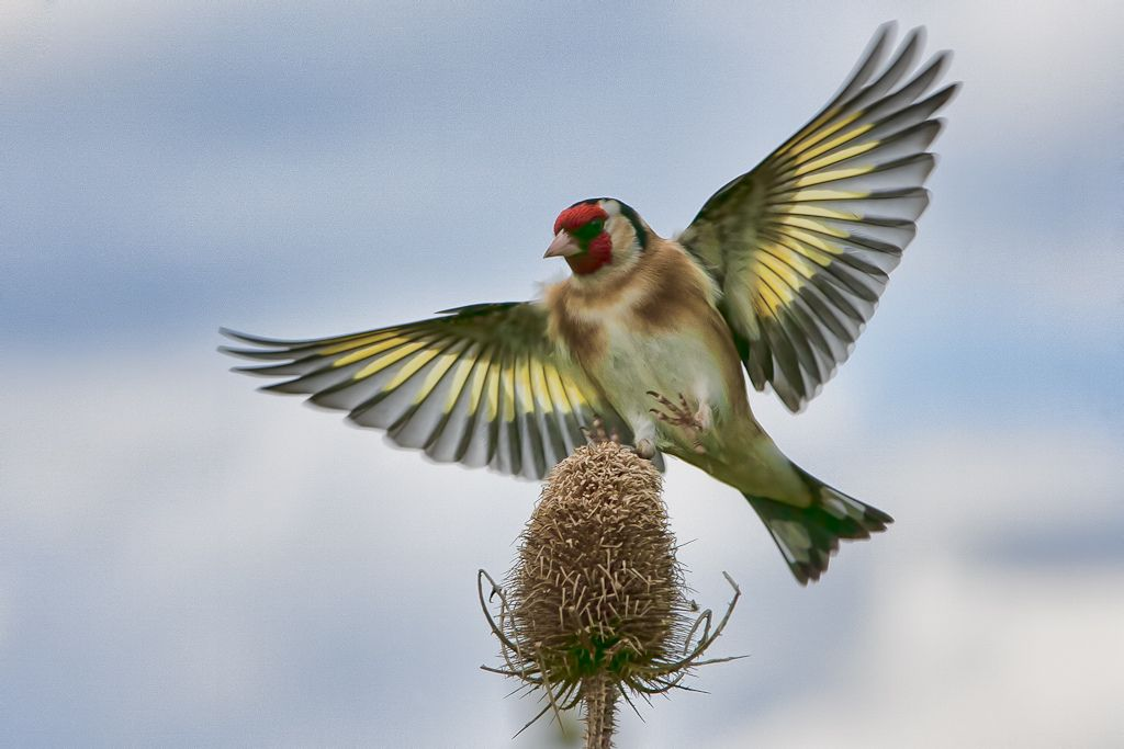 The European goldfinch or Goldfinch (Carduelis carduelis), is a small passerine bird in the finch family. | Goldfinch landing on tease.