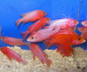 Strawberry Peacock Cichlids For Sale Offering Gorgeous African Peacocks