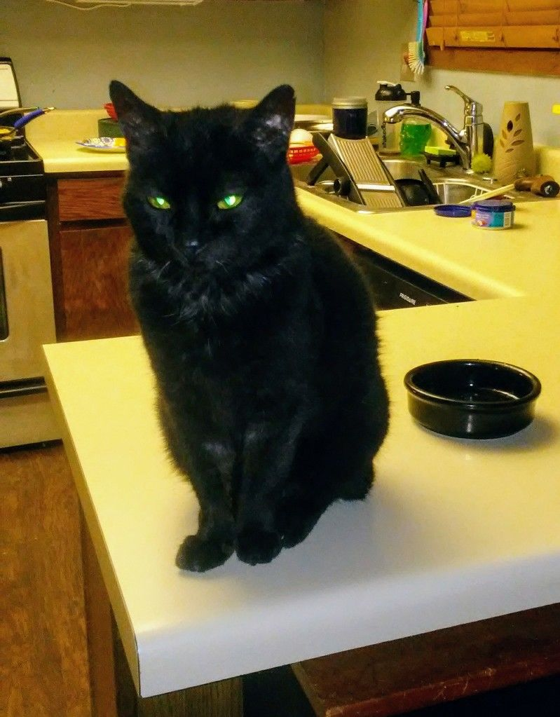 Jennie On Daily Counter Guard First Dibs Chowtime Cats Black Cat Cats And Kittens