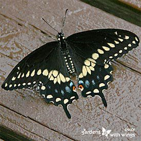 great site for identifying caterpillars and butterflies black