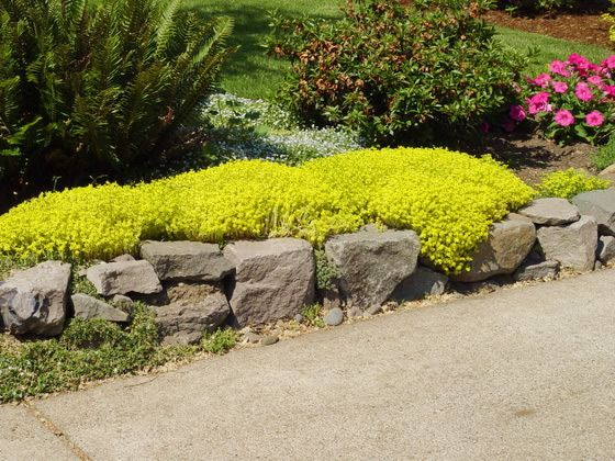 Goldmoss Sedum rock wall. 2-4 inches tall. Blooms early summer ...