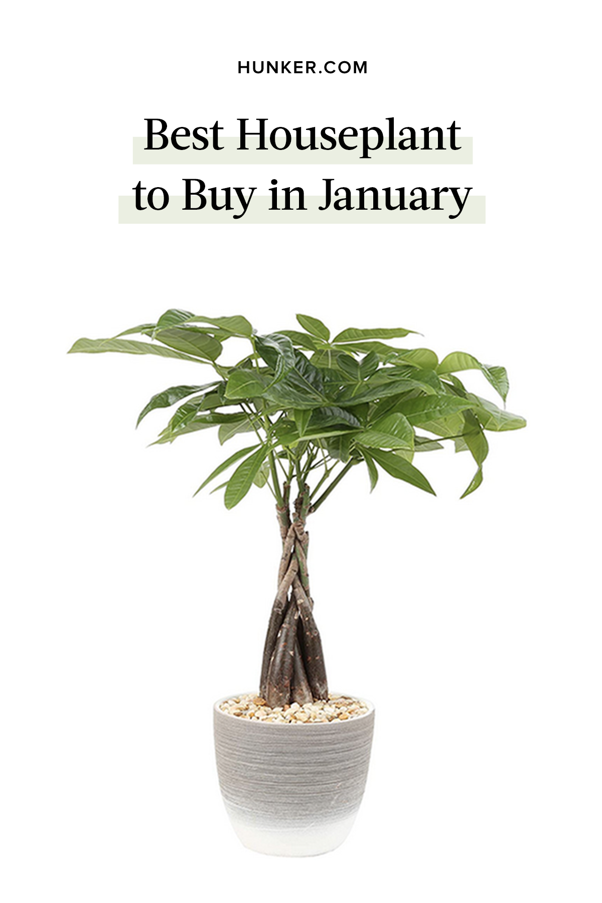 Best Houseplant to Buy in January is part of Money tree plant, House plants, Trees to plant, Plants, Potted trees, Small plants - If you want a new houseplant in January, we've got a great one for you the money tree plant  According to feng shui, it brings its owner good luck and financial fortune, perfect for the new year  And the fresh green leaves and exotic braided trunk makes the money tree a delightful houseplant