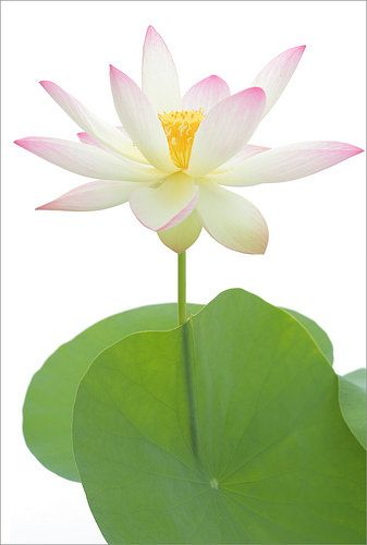 Pin by mirei on hasulotus poems pinterest lotus and flowers mightylinksfo