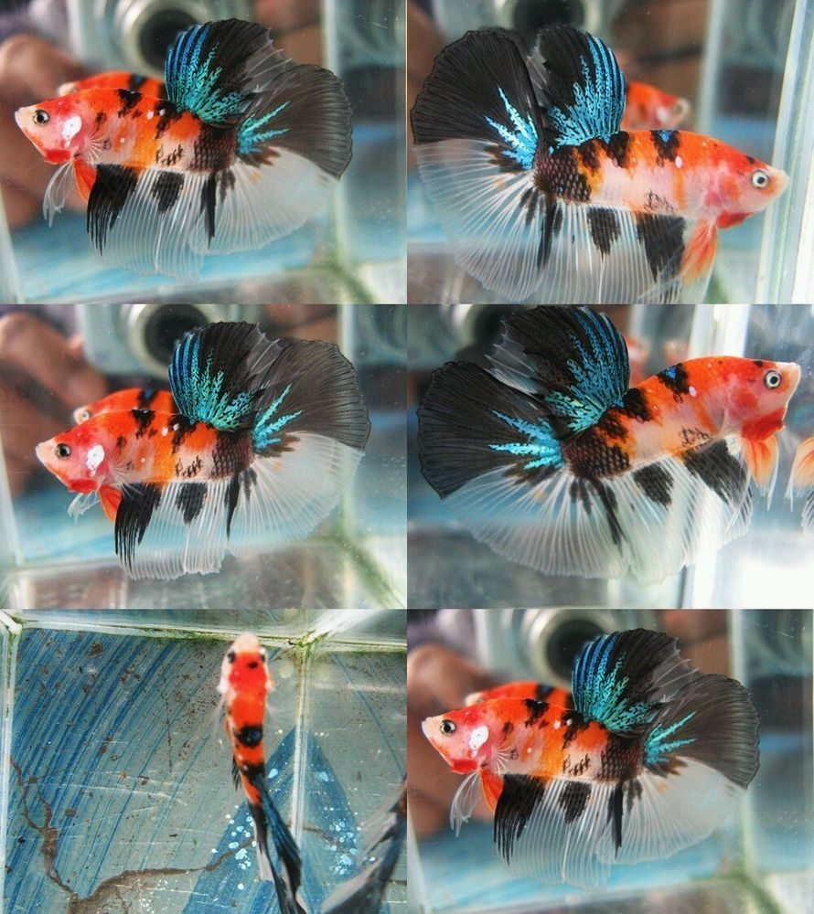 Freshwater fish kingdom - Thai Import Orange Black Koi Halfmoon Hm Live Male Betta