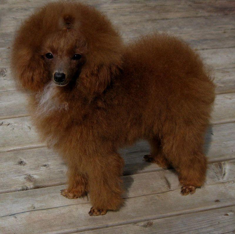 Sunshine Teacup Poodle Breeder Of Lachicpatte Com Cute Puppies