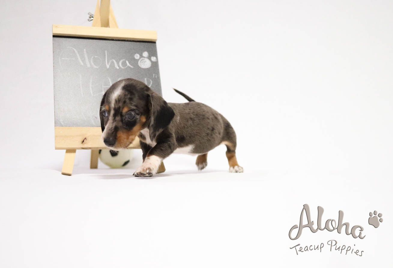 Adorable Teacup Dachshund Female Aloha Teacup Puppies