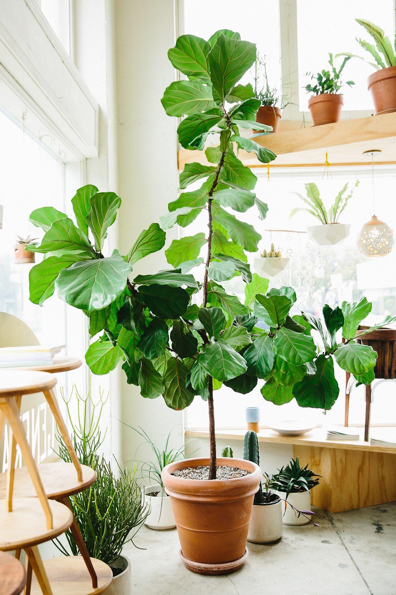 Fiddly fig plant // Fiolfikus Fiddle leaf fig tree