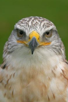 This Song Teaches About The Basic Ecology And Adaptations Of Birds Of Prey All To A Memorable Sing Along Tune Lyrics Their Na Raptors Bird Birds Of Prey Prey