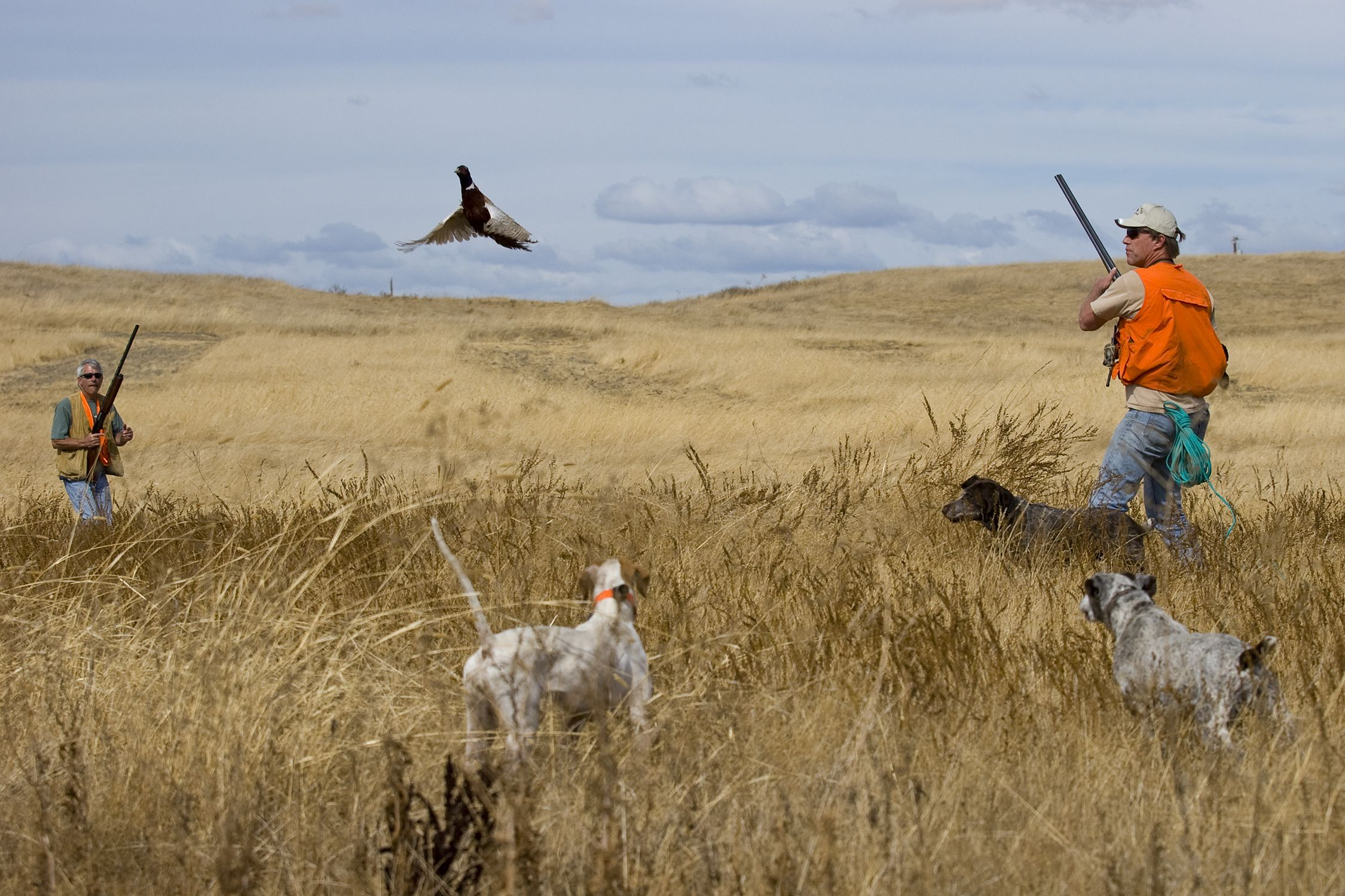 pheasant hunting pictures - HD 2250×1500