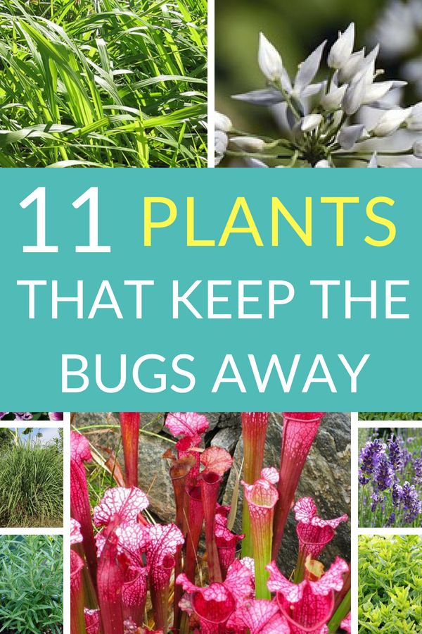 Natural Repellents 11 Plants that Keep Mosquitoes 2020