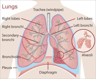 lungs diagram | Why you should eat more Saturated Fat in your Diet ...