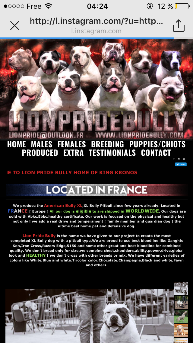 Chiot Puppy Puppies American Bully Giant Xl Xxl Bully Pitbull A Vendre For Sale France Belgique Kennel Elevage Lion Pride Bully Eu Chiot Chiens Et Chiots Chien
