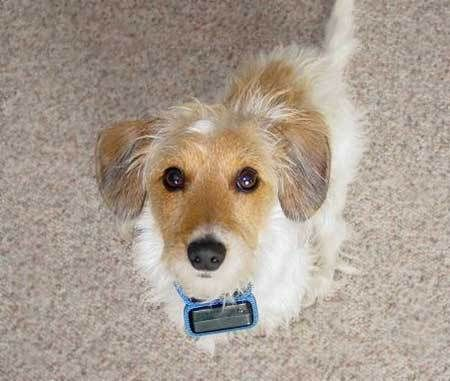 Wire Haired Fox Terrier Dachshund Mix Dachshund Mix Fox Terrier