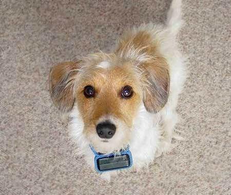Wire Haired Fox Terrier/Dachshund mix   Dogs   Pinterest