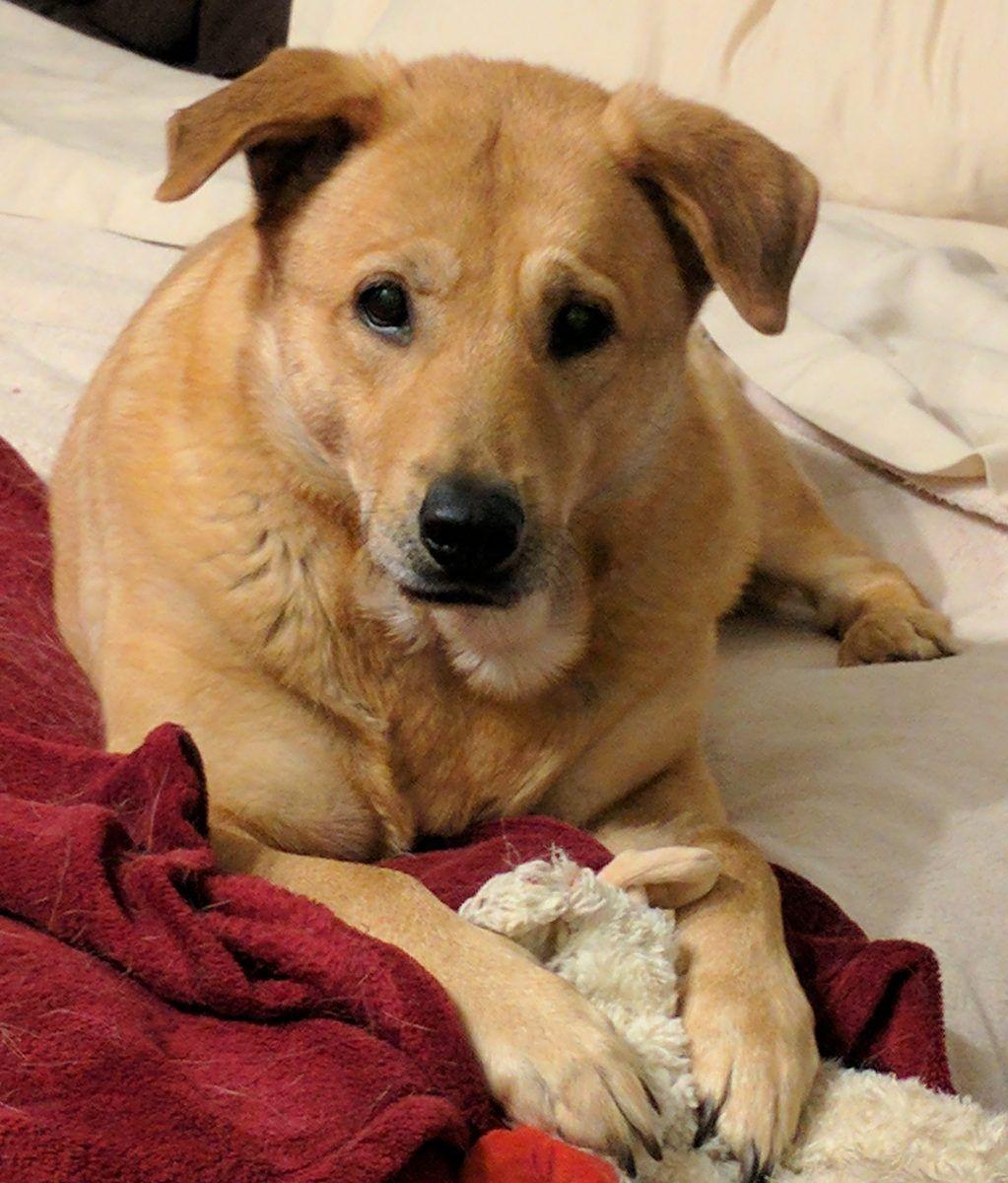 Golden Labrador Retriever Dog For Adoption Baltimore Md Adopt