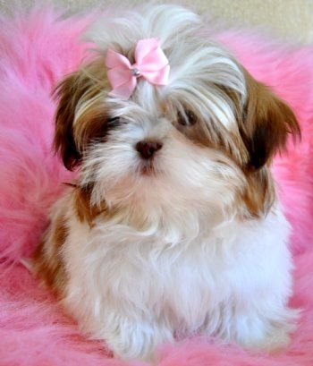 Tiny Chocolate White Shihtzu Puppy 1 9 Lb 10 Weeks Sold Moving