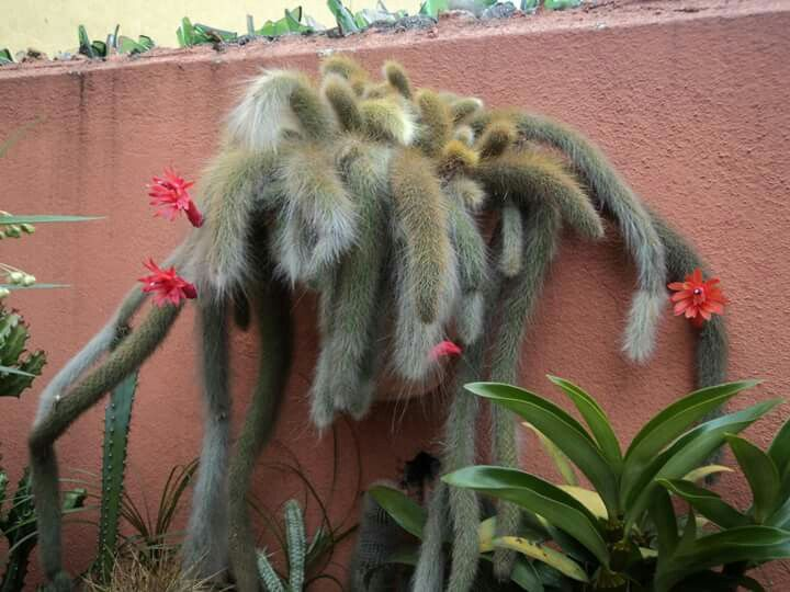 Cacto Rabo de Macaco