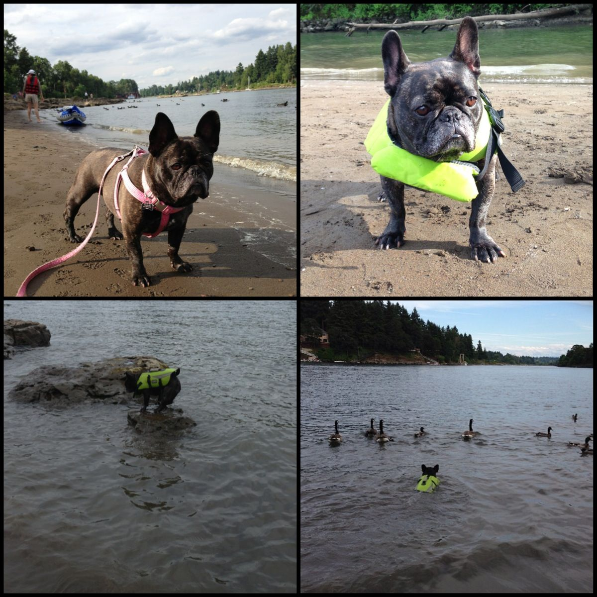 see frenchies can swim they just need a life vest lol.