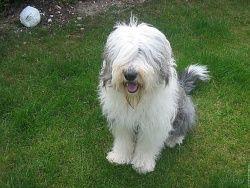 12 Photos de Bobtail old english sheepdog wallpaper chien animal