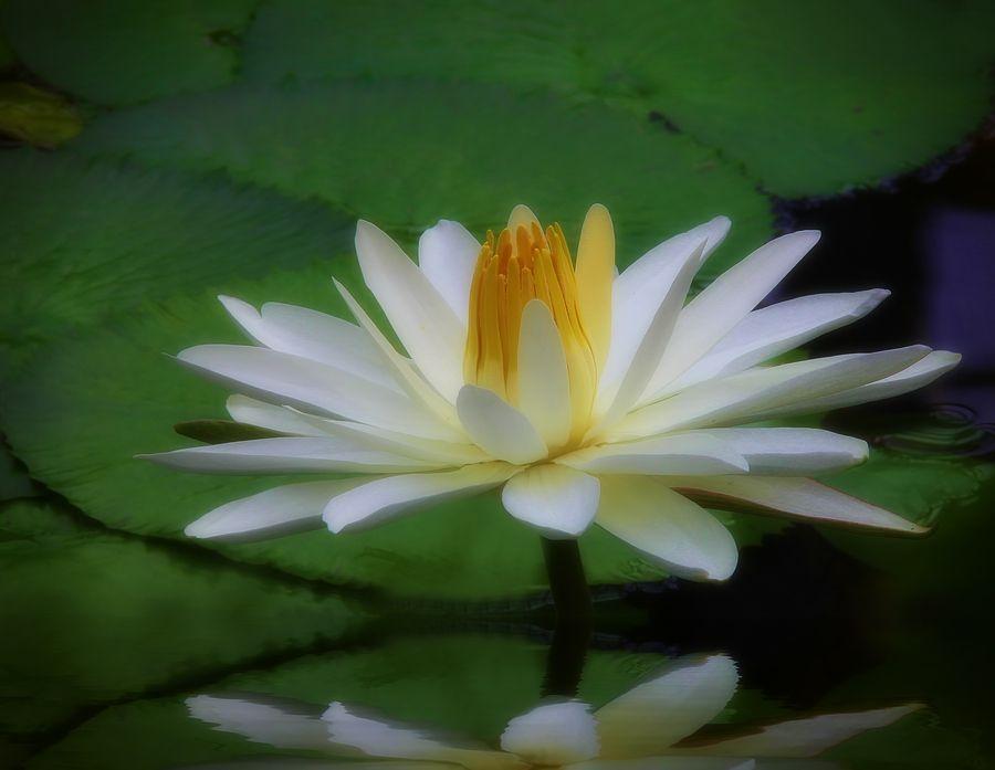 orange lily flower language
