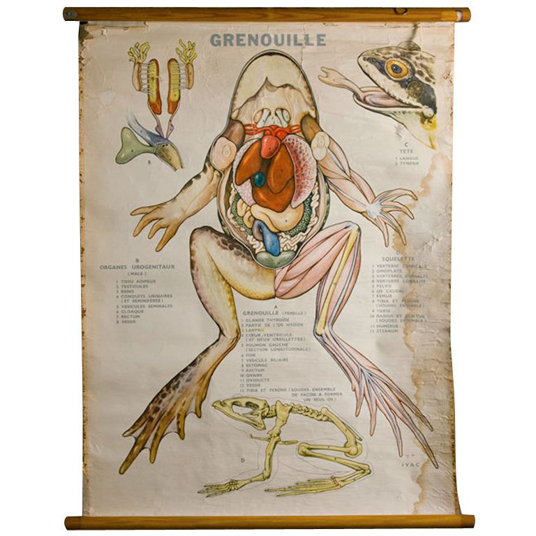 Vintage Anatomy Poster of Frog in French | Frogs, Anatomy and Language