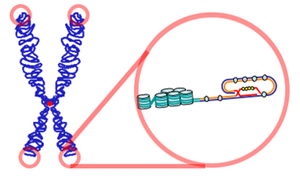 Over time, due to each cell division, the #telomere ends become shorter. They are replenished by an
