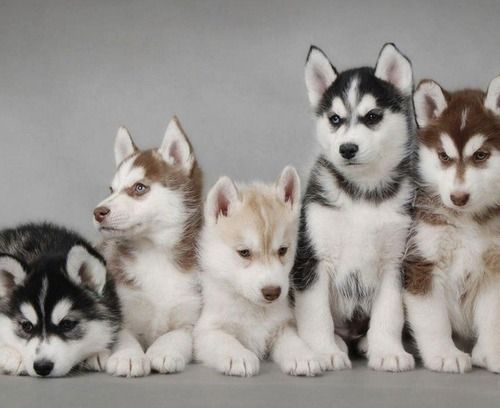 Pin By Xvera On Animals Cute Animals Cute Husky Puppies