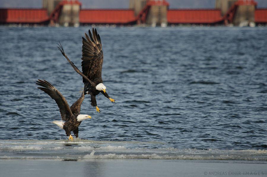 Andreas exner images bald eagle river life guttenberg