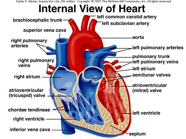 Anatomical Heart Diagram Subwoofer Wiring Sonic Electronix Human Anatomy Pinterest
